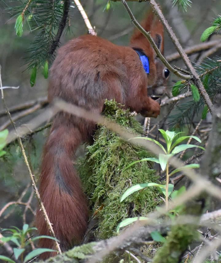 Red squirrel wearing radio collar