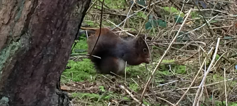 Red squirrel Formby