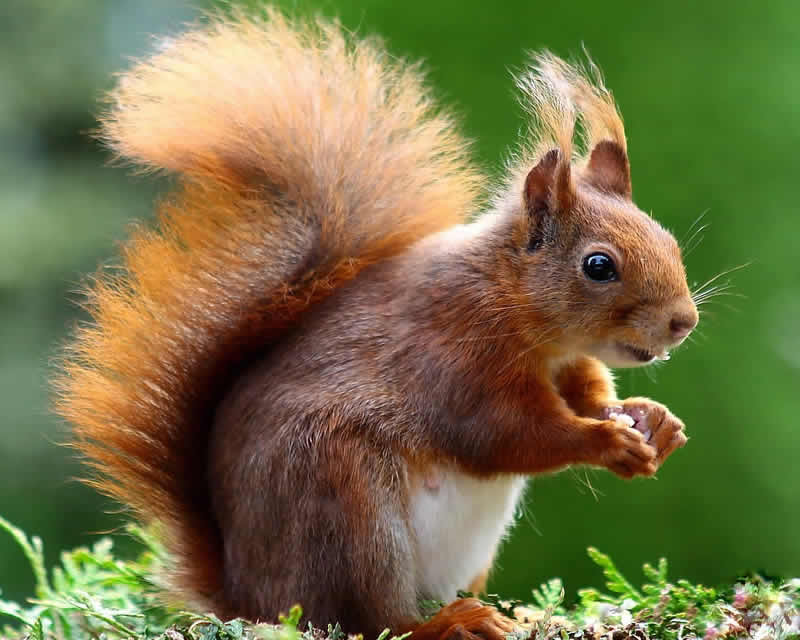 Typical red squirrel